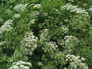English: Ammi majus, Apiaceae, Bishopsweed, Bu...