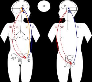 Hormone feedback cycles